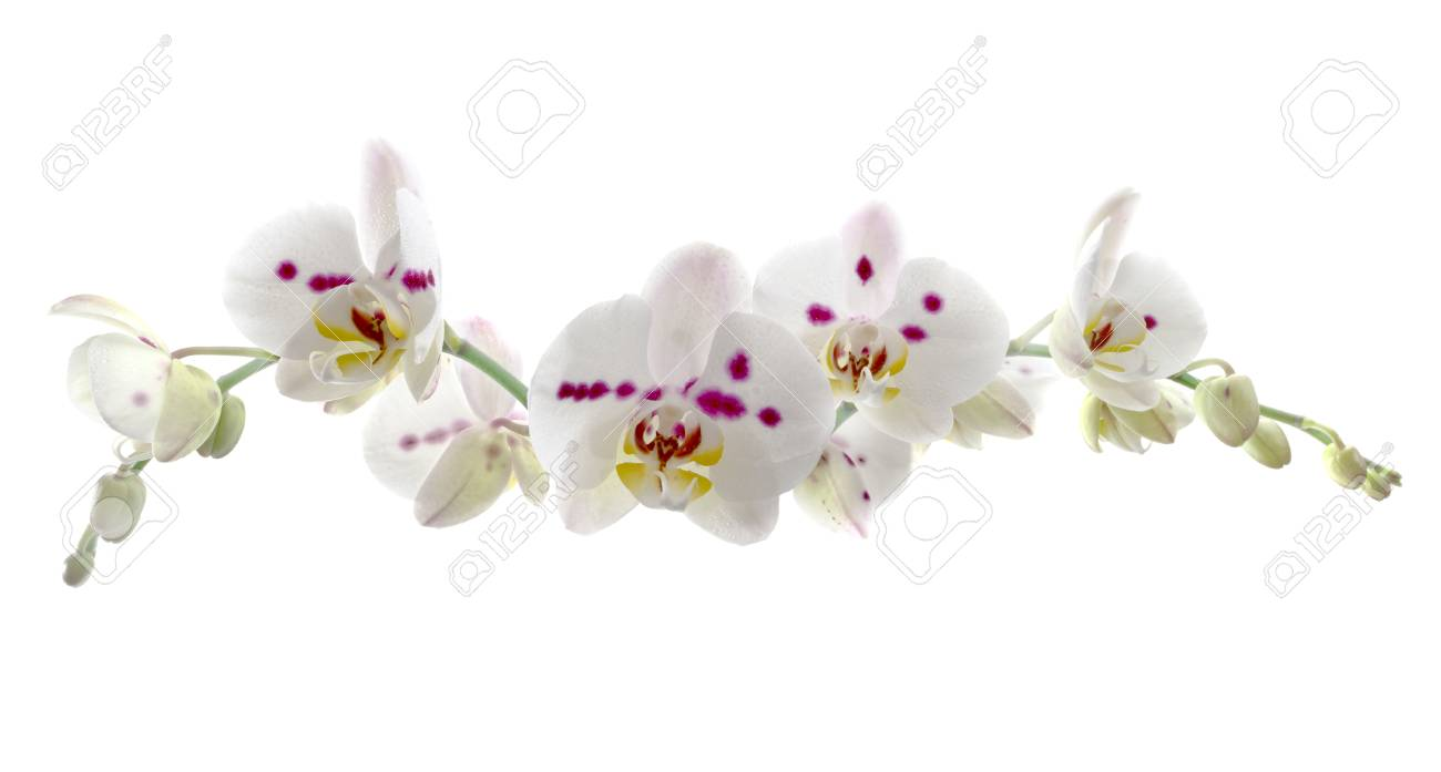 Beautiful White Orchid Flower Over White Background Long Horizontal