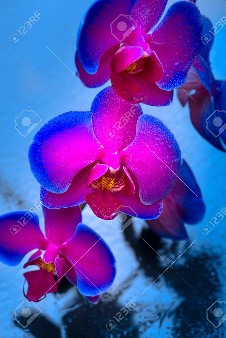 Duo Color Pink Blue Orchid Over Blue Reflective Background Stock ...