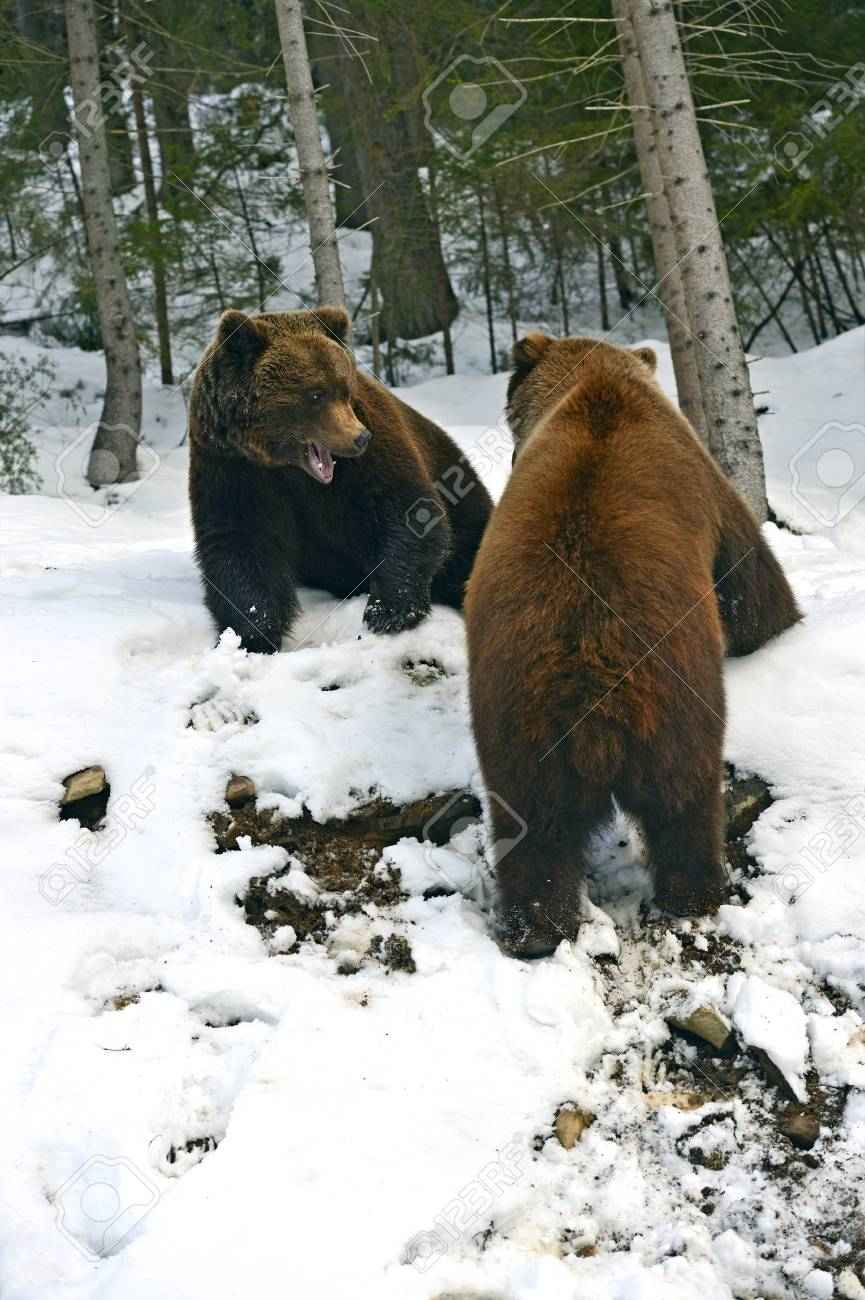 Brown bear in the woods in winter Stock Photo - 25779593