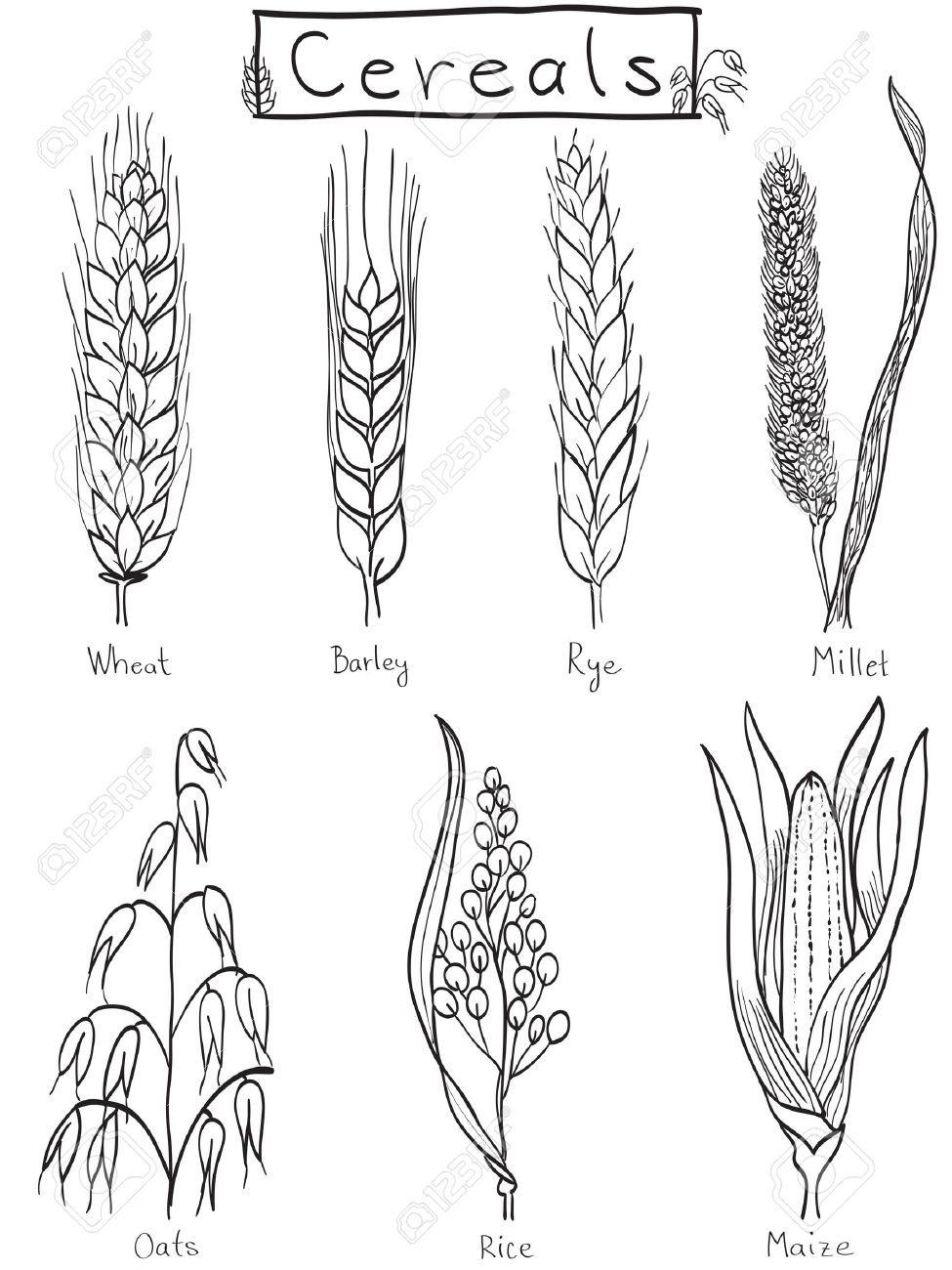Cereals hand-drawn illustration - wheat, barley, rye, millet, oat, rice, maize Stock Vector - 13563320