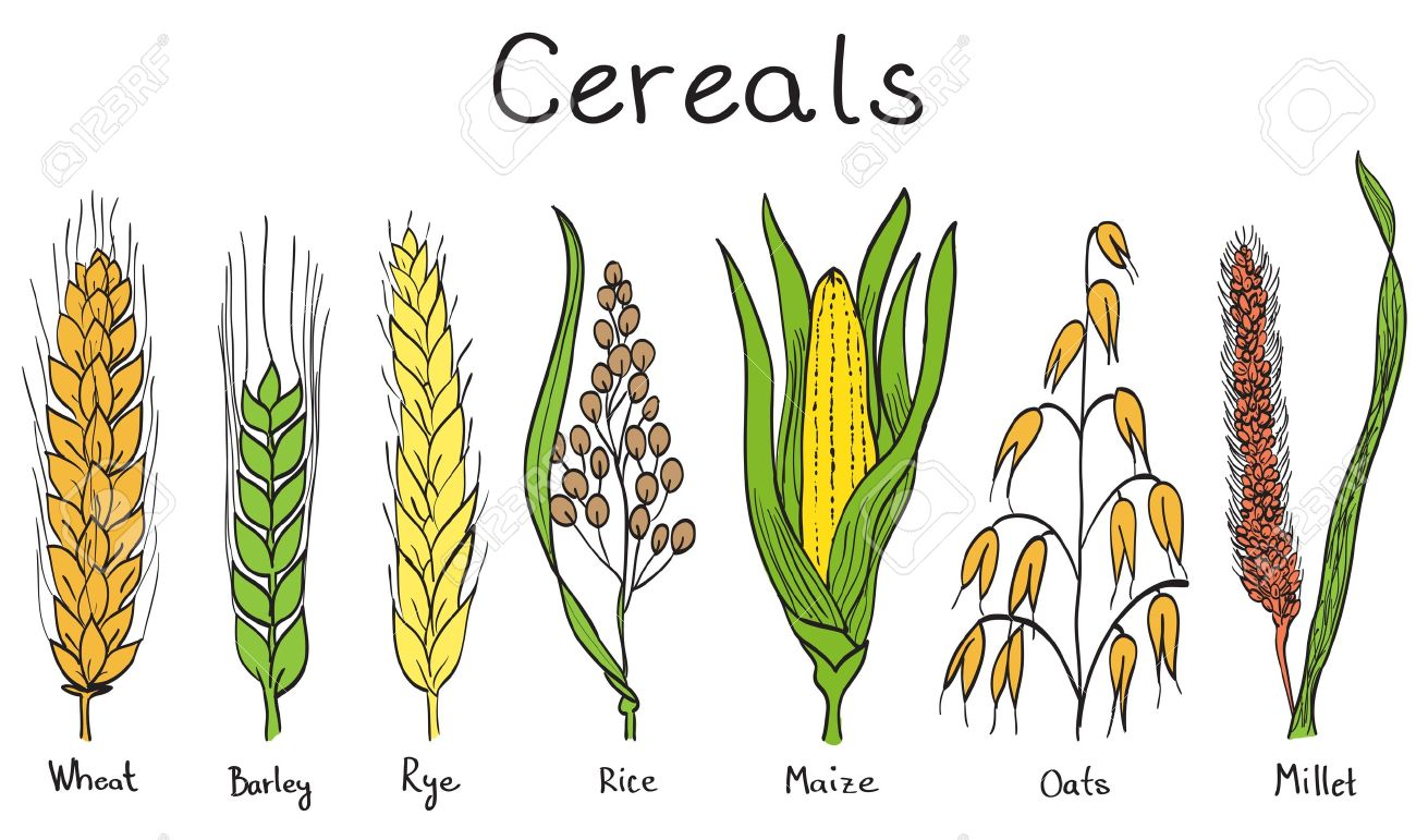 Cereals hand-drawn illustration - wheat, barley, rye, millet, oat, rice, maize - 13865808