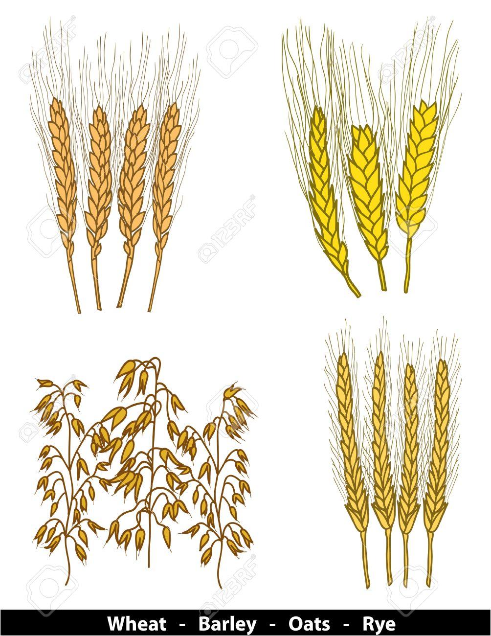 рожь пшеница ячмень овес