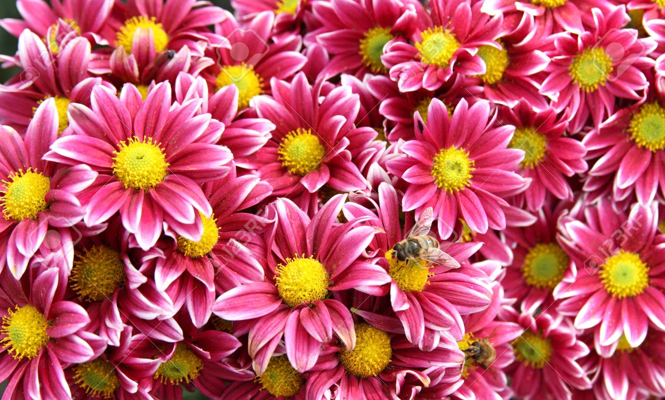 Autumn Bright Colored Chrysanthemum Flowers With Bees As Background ...