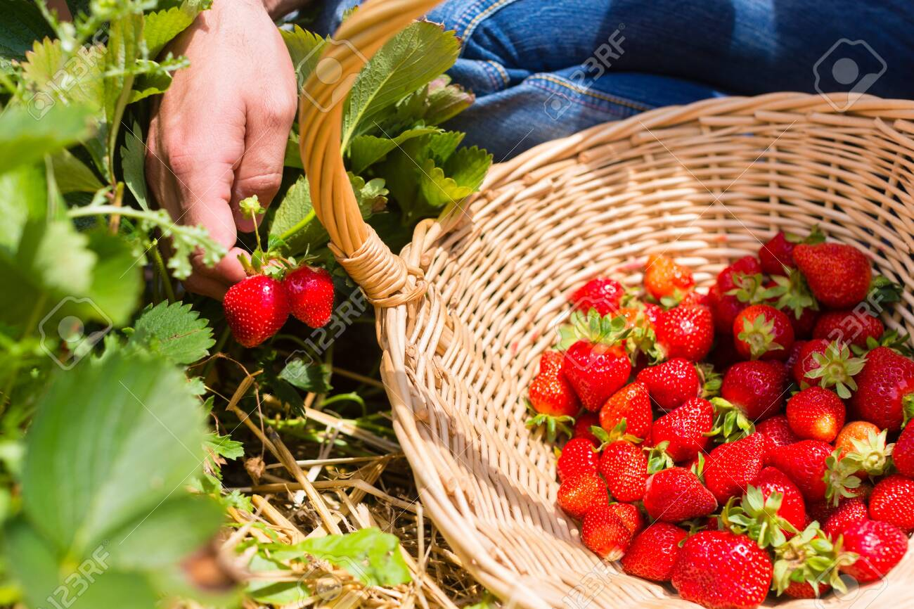 Woman picking strawberries into a basket picking herself - 124565122