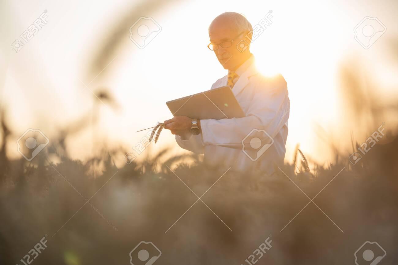 Man doing research on genetically modified grain in wheat field,