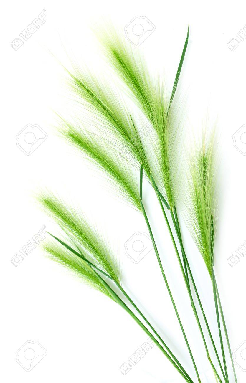 ear of green wheat on a white background Stock Photo - 20813772