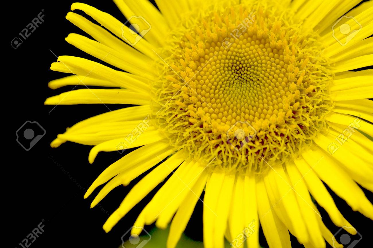 Yellow Daisy Looking Like Sunflower Stock Photo Picture And Royalty