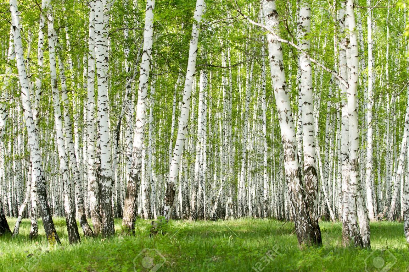 春に緑の白樺の森 ロイヤリティ...