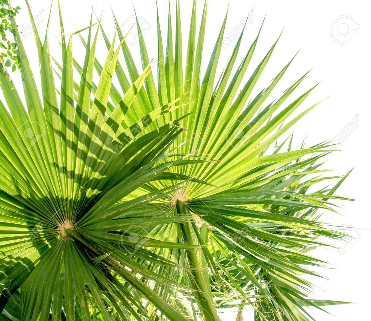 Schonen Palmen Blatter Des Baumes Im Sonnenlicht Lizenzfreie Fotos