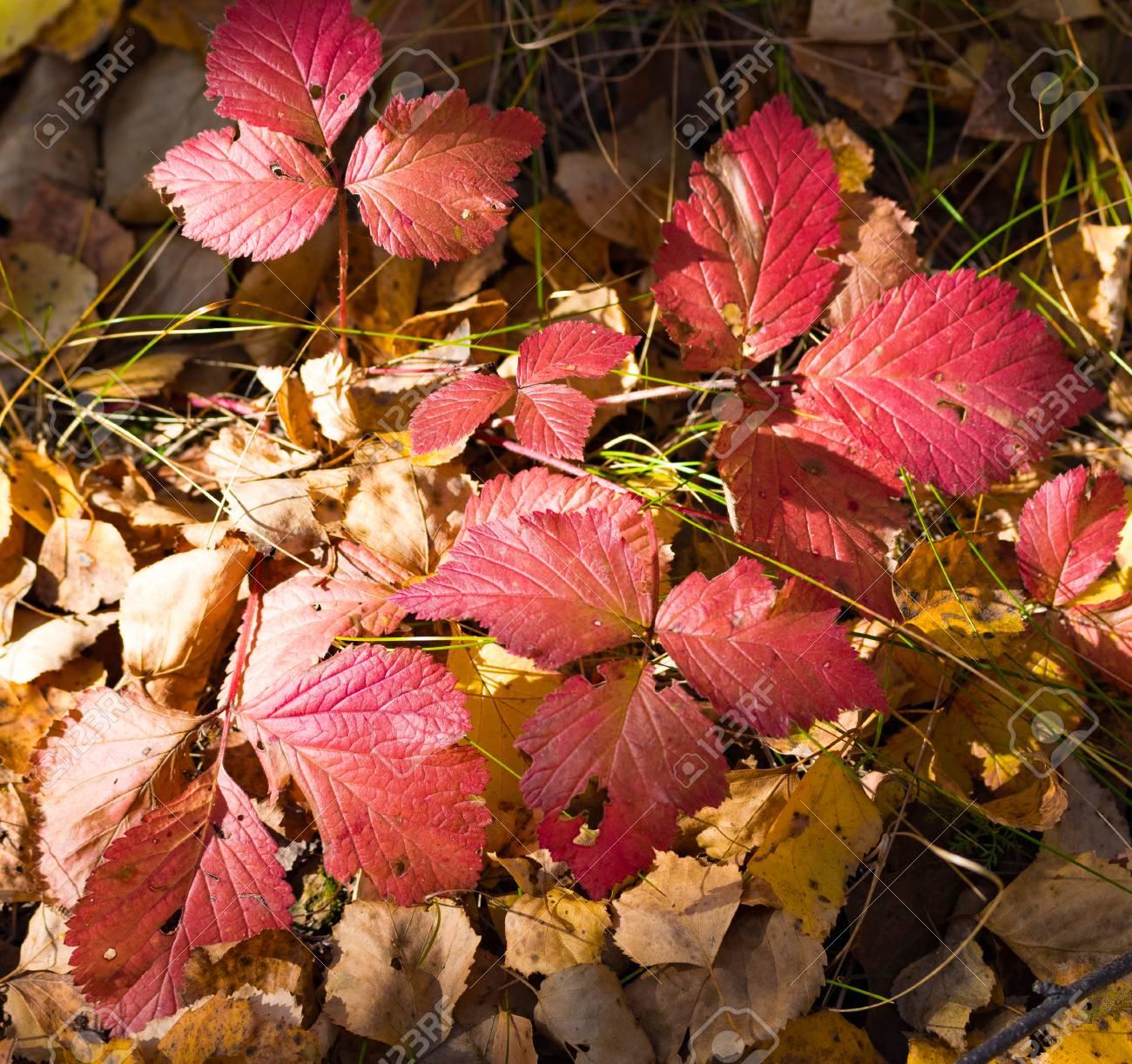 Gemeinsame Herbst Rote Blätter Von Wilden Erdbeeren Lizenzfreie Fotos, Bilder &YD_45