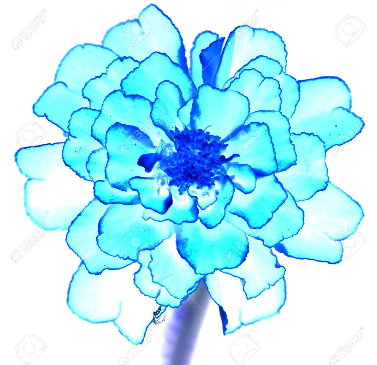Surreal Exotic Blue Marigold Flower Macro Isolated On White Stock
