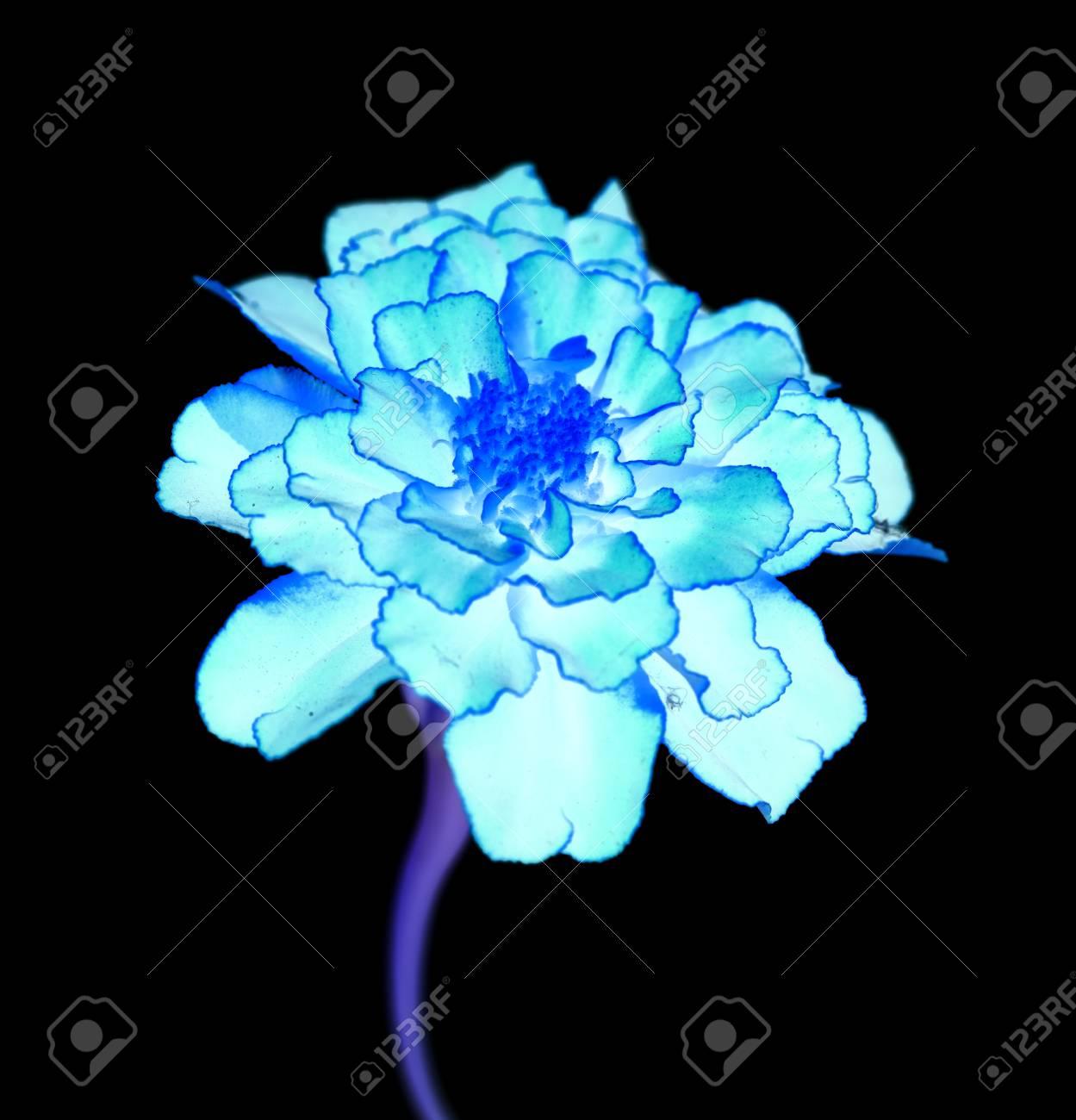 Surreal Exotic Blue Marigold Flower Macro Isolated On Black Stock