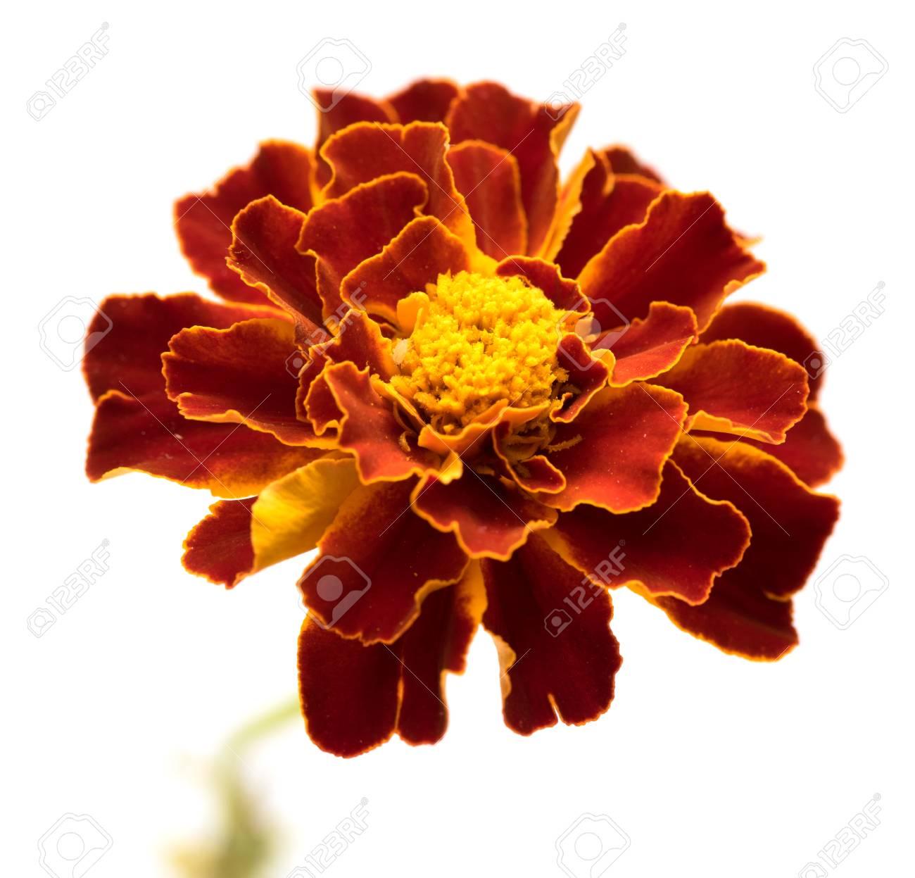 Marigold flowers isolated on white stock photo picture and royalty marigold flowers isolated on white stock photo 63566097 mightylinksfo