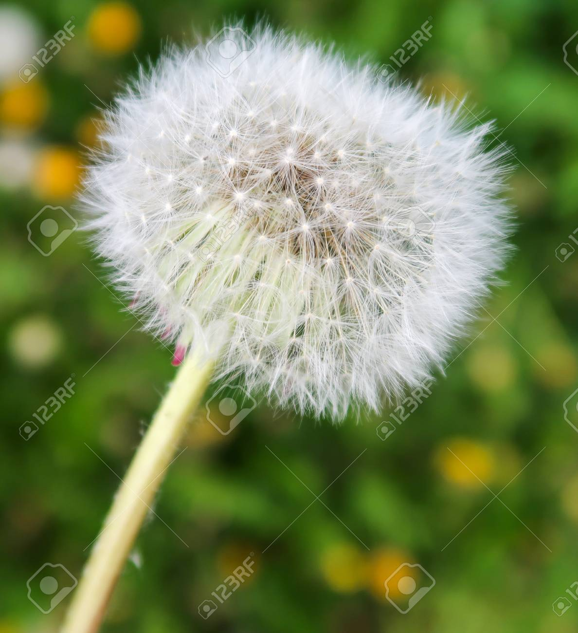 White dandelion flower close up stock photo picture and royalty stock photo white dandelion flower close up mightylinksfo