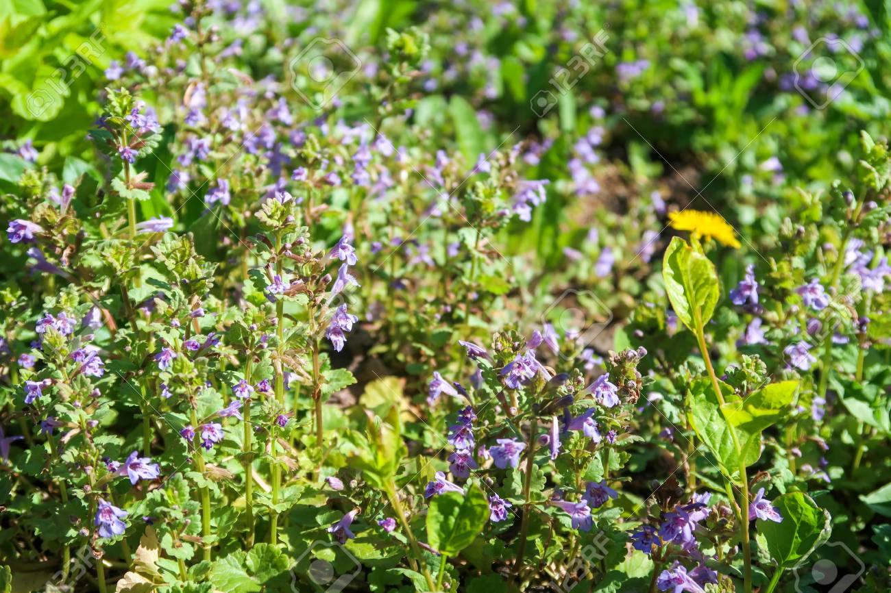 Purple flowers of fragrant mint in the green grass
