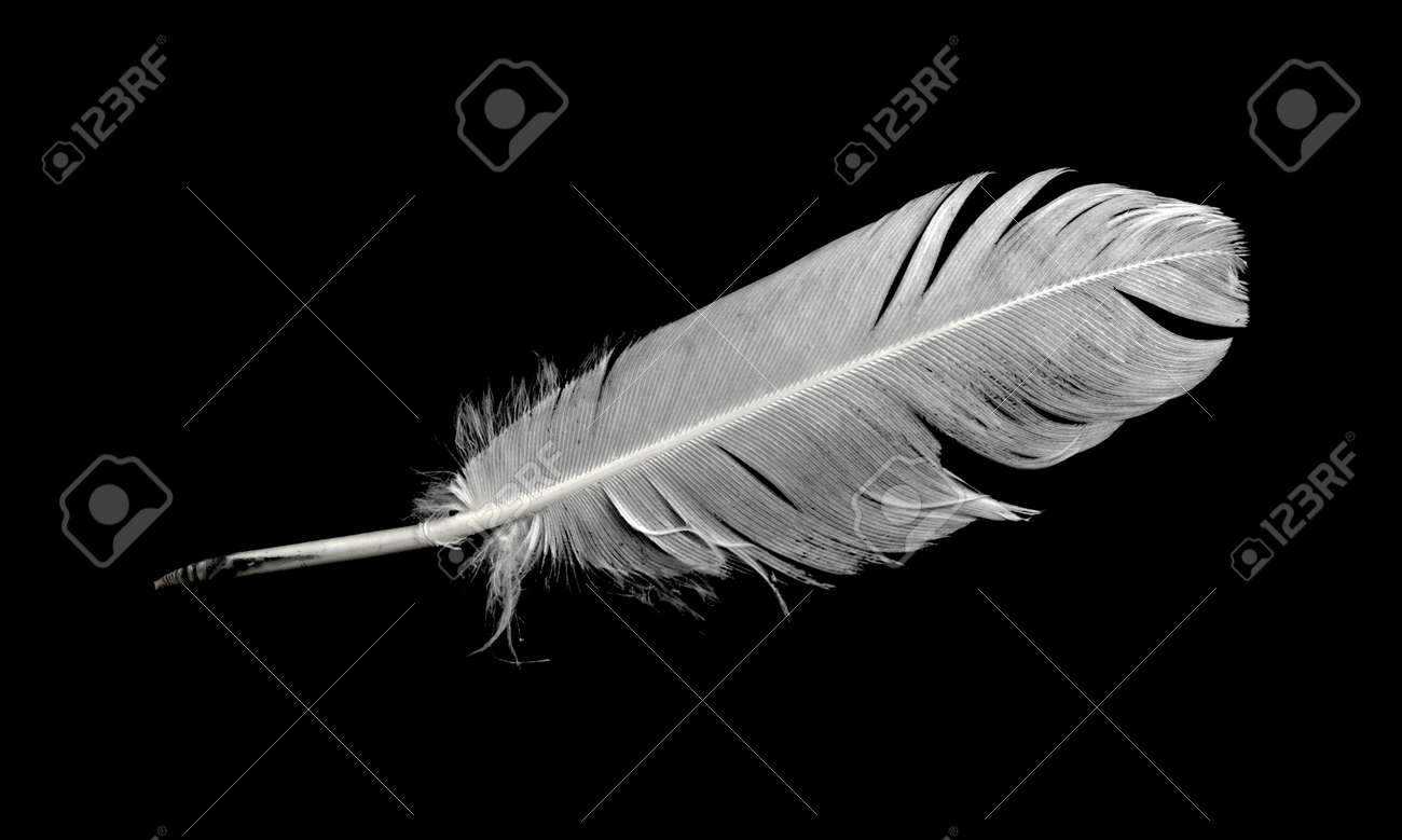 Feather of a bird on a black background. - 151568223