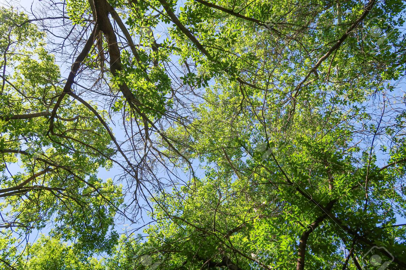 Green leaves of trees view from below against the blue sky, spring nature. - 135082511