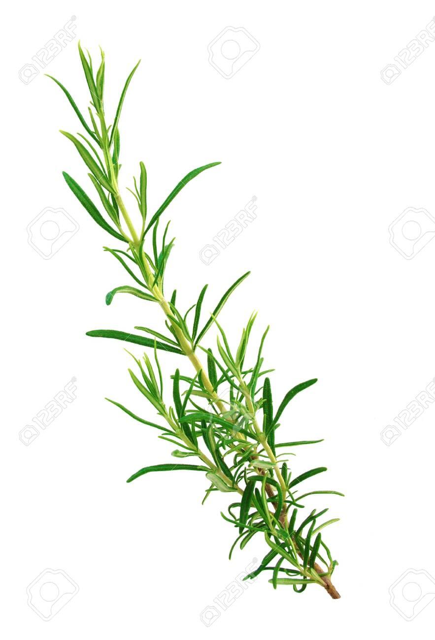 Sprig of rosemary isolated on white background - 142170742