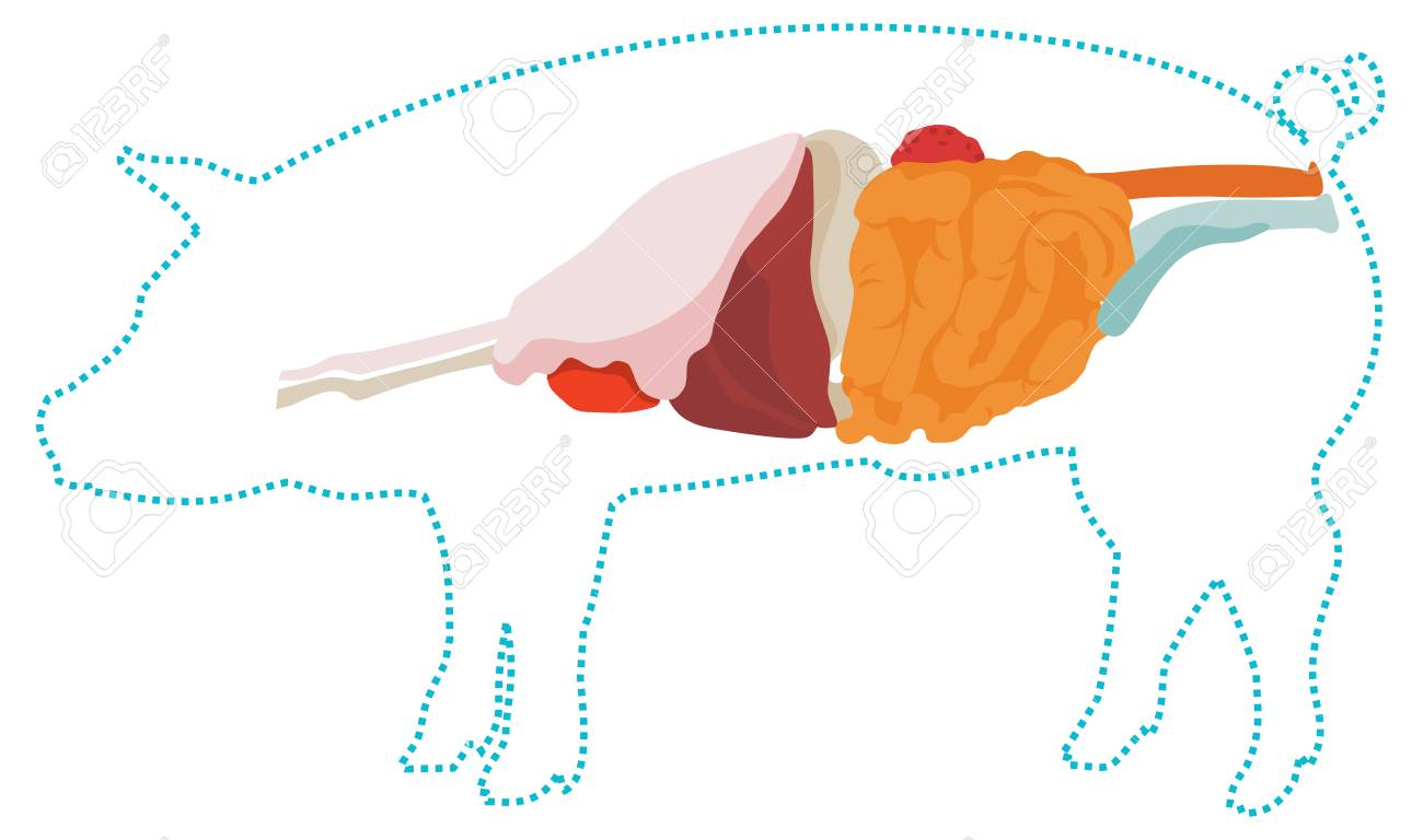 Pig anatomy digestive system of the pig royalty free cliparts pig anatomy digestive system of the pig stock vector 64961694 ccuart Choice Image