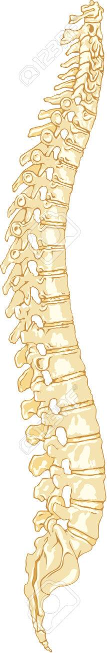 Illustration Of The Human Anatomy Spine System Stock Photo Picture