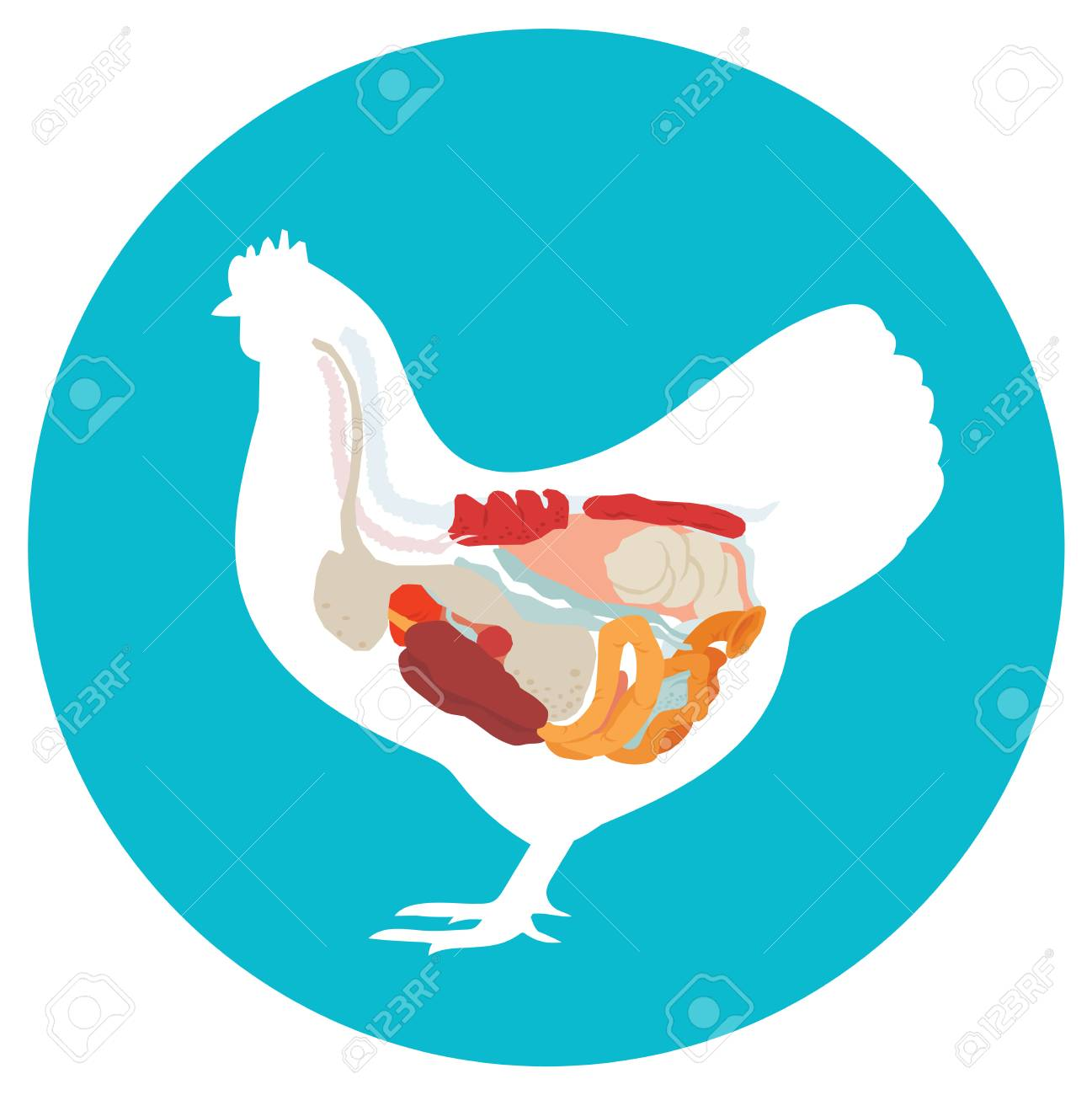 Chicken anatomy digestive system of the chicken inside view stock chicken anatomy digestive system of the chicken inside view stock photo 64964042 ccuart Gallery
