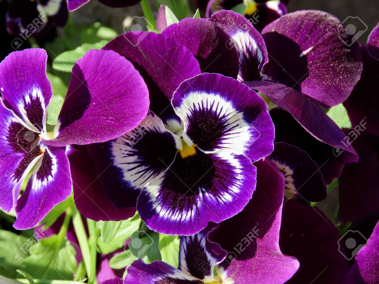 Flower pot with lilac colored pansies - Viola tricolor var. hortensis close up - 146484954