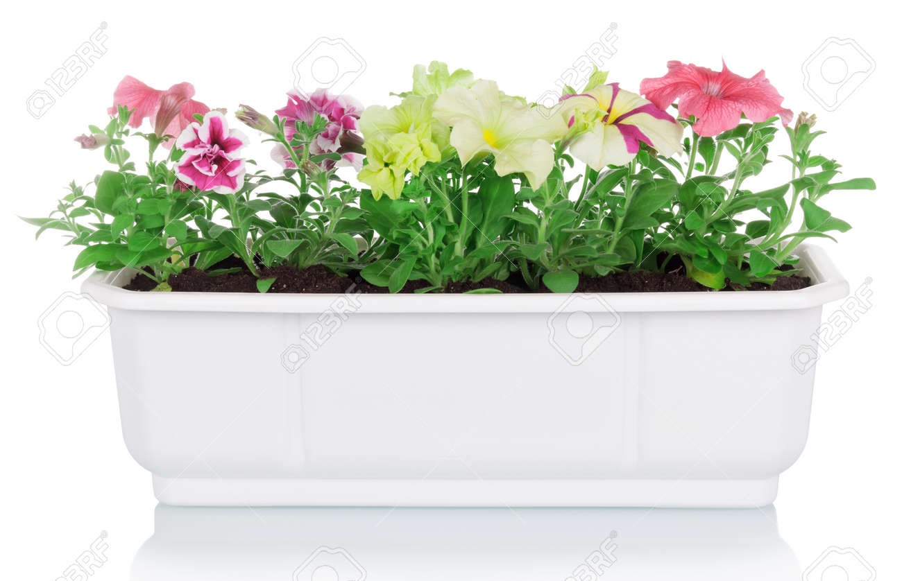 Flowerpot with multicolored petunia plants isolated on white background - 170118291