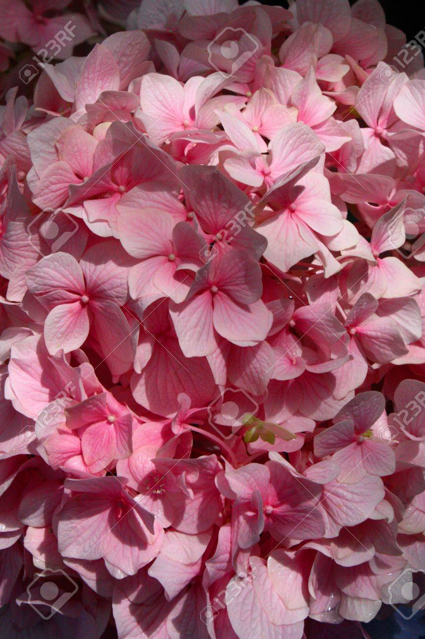 A Cluster Of Baby Pink Color Flowers Stock Photo Picture And