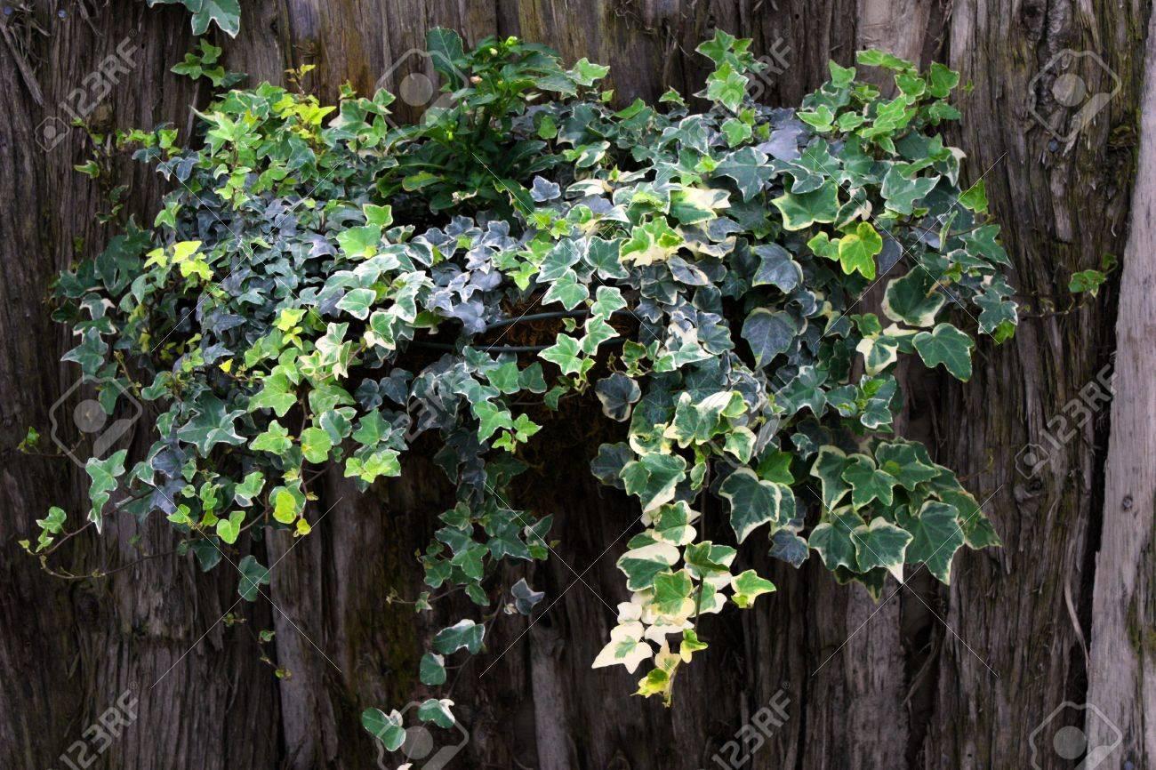free plantas colgantes hiedra en una cesta en un fondo de madera con textura foto de archivo with plantas colgantes exterior resistentes - Plantas Colgantes Exterior