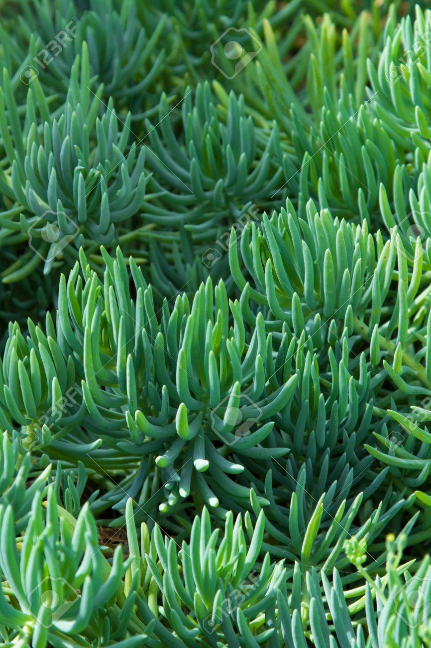 Sukkulenten Oder Sukkulenten Sind Pflanzen Die Dicken Und