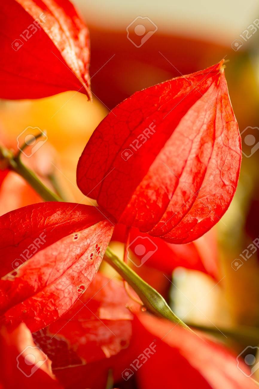 Fleur De Lanterne Chinoise Ou Physalis Alkekeng Est Une Fleur Avec 5