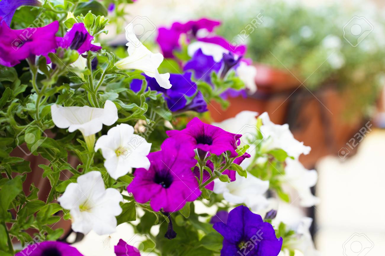 Close Up Of A Colorful Petunias Plant Stock Photo Picture And