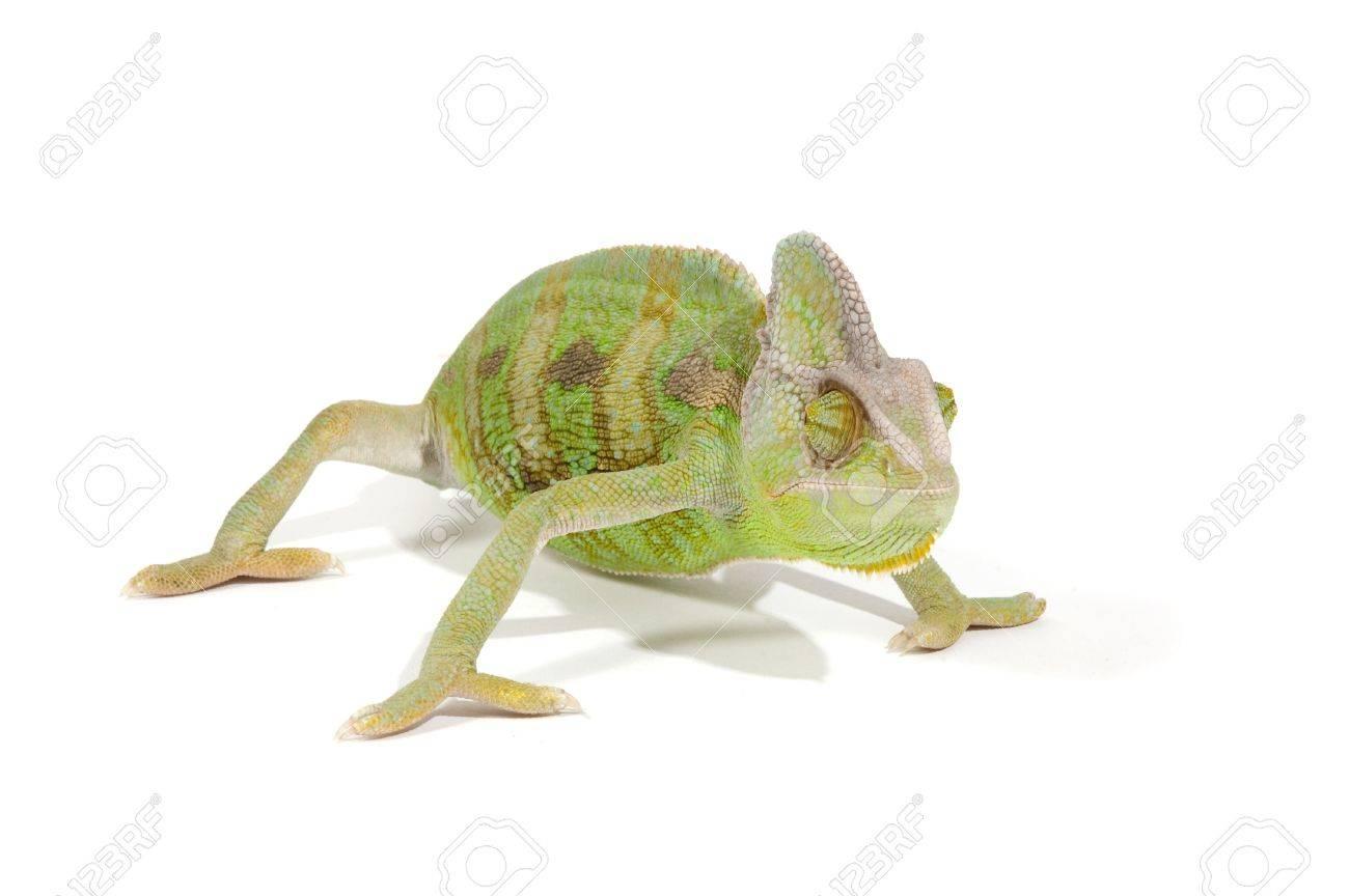 Chameleon isolated on a white background Stock Photo - 7132676