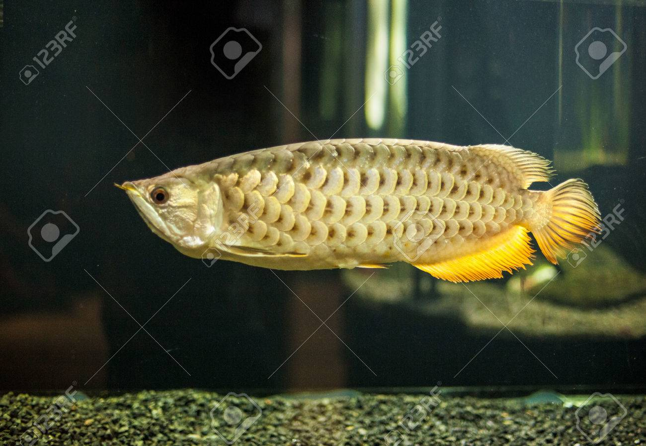 Gold dragon fish buy steroid sachets online