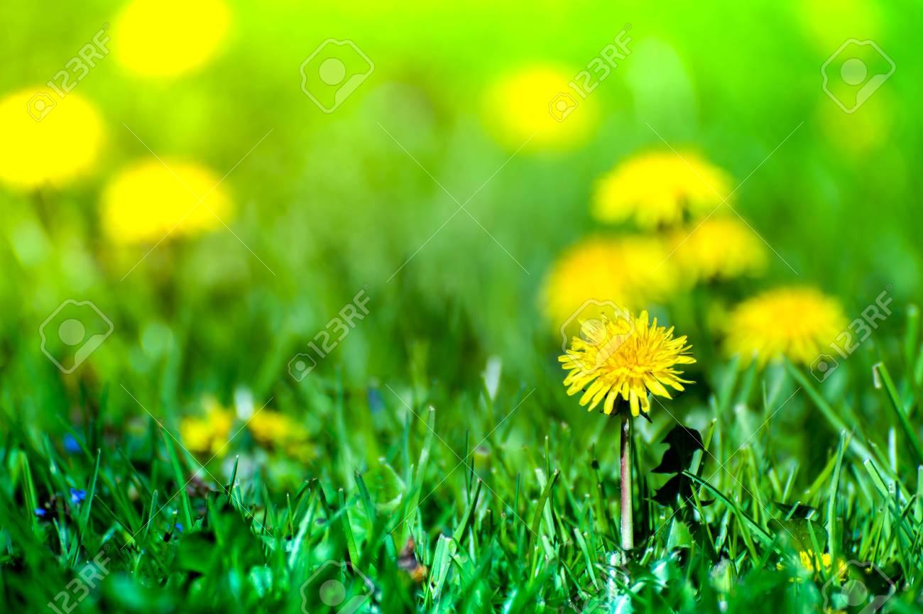 Macro shot of brightly yellow dandelion flowers in the green stock macro shot of brightly yellow dandelion flowers in the green meadow in countryside in early summer mightylinksfo