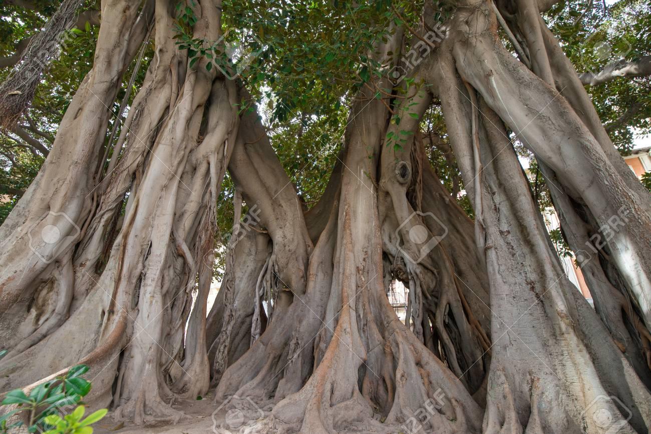Large Moreton Bay Fig Tree (Ficus ...