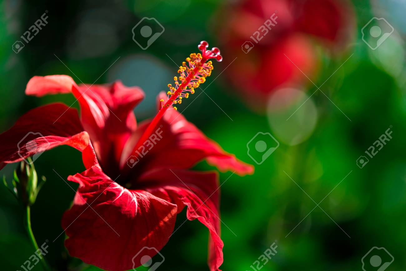 Beautiful Red Hibiscus Flower With Yellow Pollen In The Middle