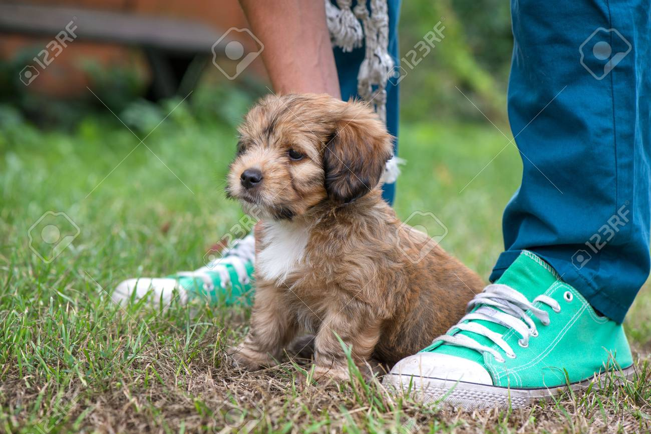 Little Lovely Fluffy Cute Brown Puppy Playing Outdoors With Stock Photo Picture And Royalty Free Image Image 113591577