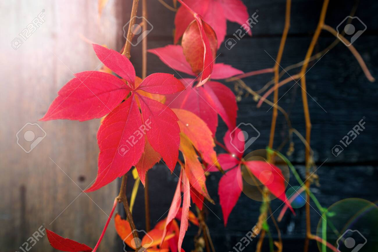 Beautiful background of colorful autumn leaves. Red, green, brown and yellow. Concept of changing seasons - 119718763