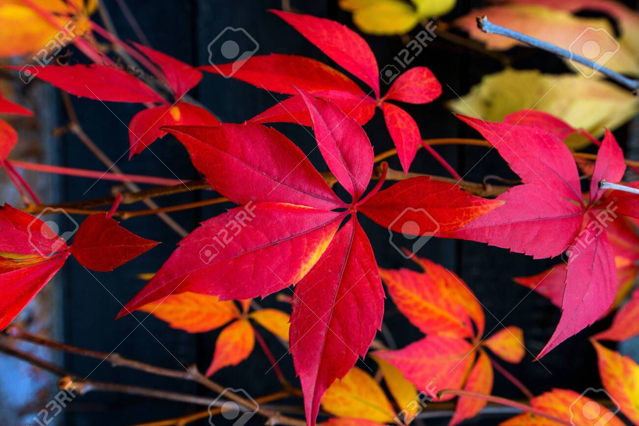 Beautiful background of colorful autumn leaves. Red, green, brown and yellow. Concept of changing seasons - 119718766