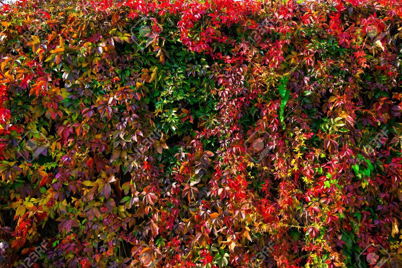 Beautiful background of colorful autumn leaves. Red, green, brown and yellow. Concept of changing seasons - 119718767