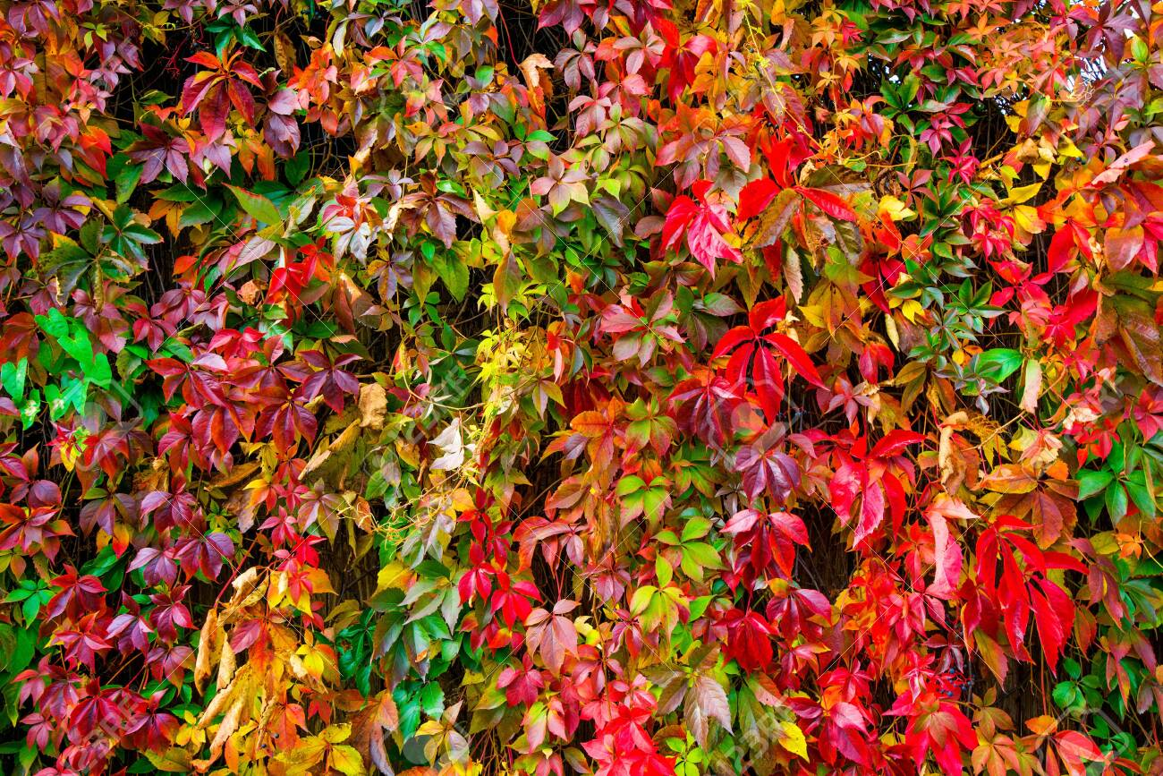 Beautiful background of colorful autumn leaves. Red, green, brown and yellow. Concept of changing seasons - 119718770
