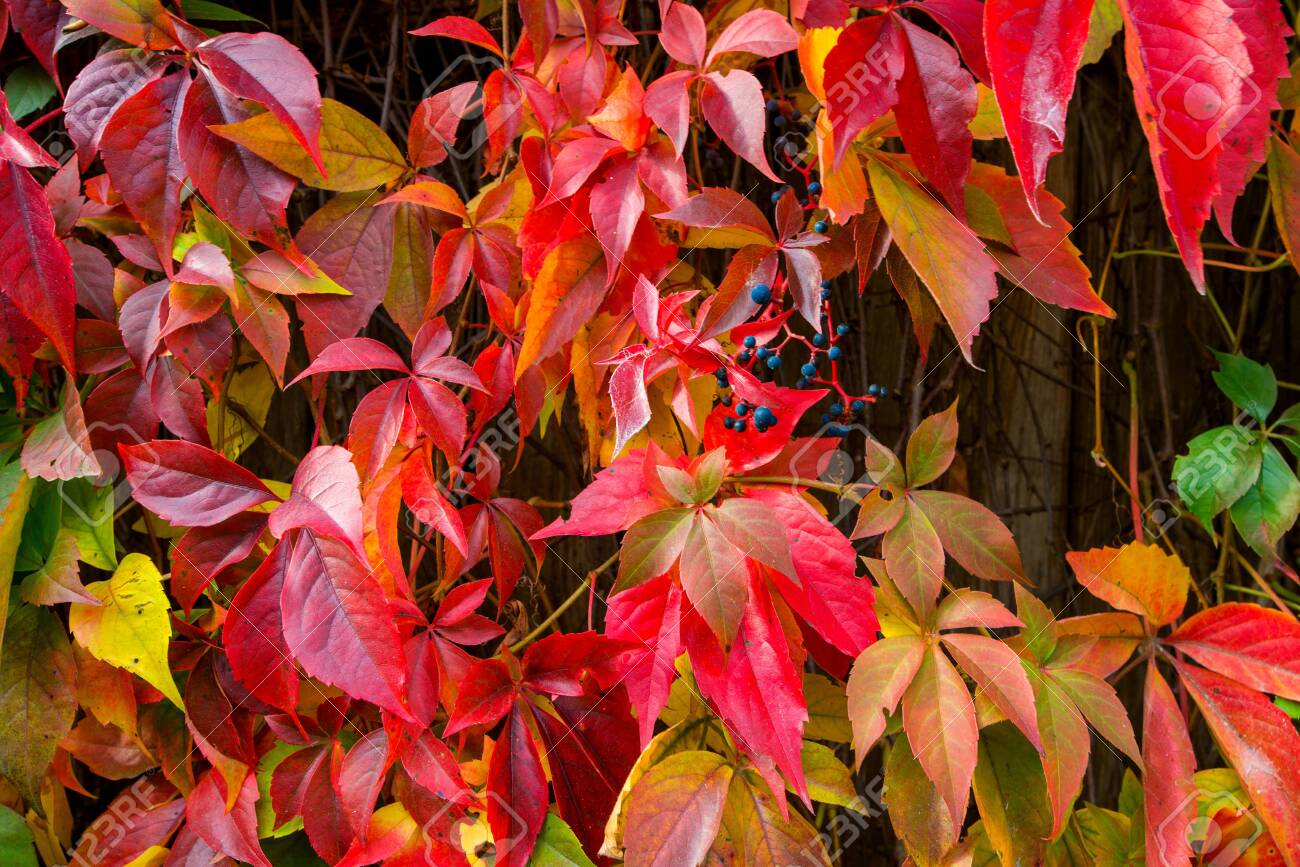 Beautiful background of colorful autumn leaves. Red, green, brown and yellow. Concept of changing seasons - 119718787