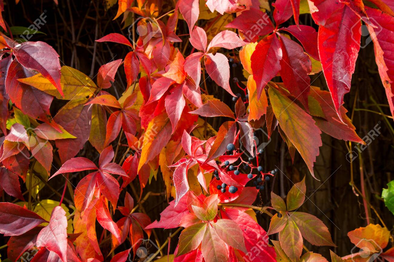 Beautiful background of colorful autumn leaves. Red, green, brown and yellow. Concept of changing seasons - 119718788