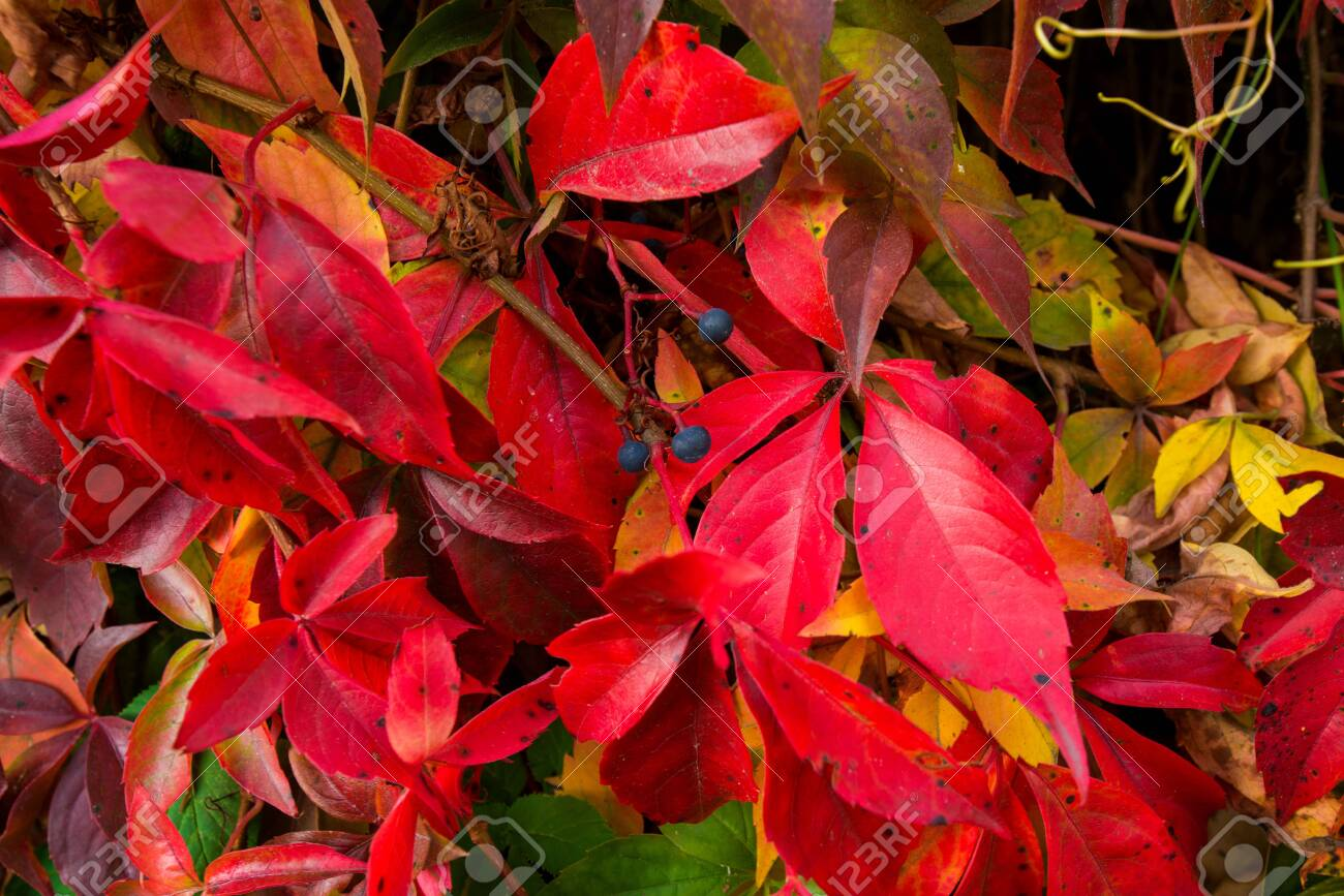 Beautiful background of colorful autumn leaves. Red, green, brown and yellow. Concept of changing seasons - 119718789