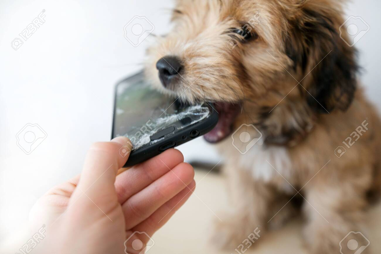 Broken and damaged smartphone with cracks on glass screen next to disobedient puppy. Accident. Dog has ruin and bitten the cell phone. Concept of warranty and lost smartphone - 119718791
