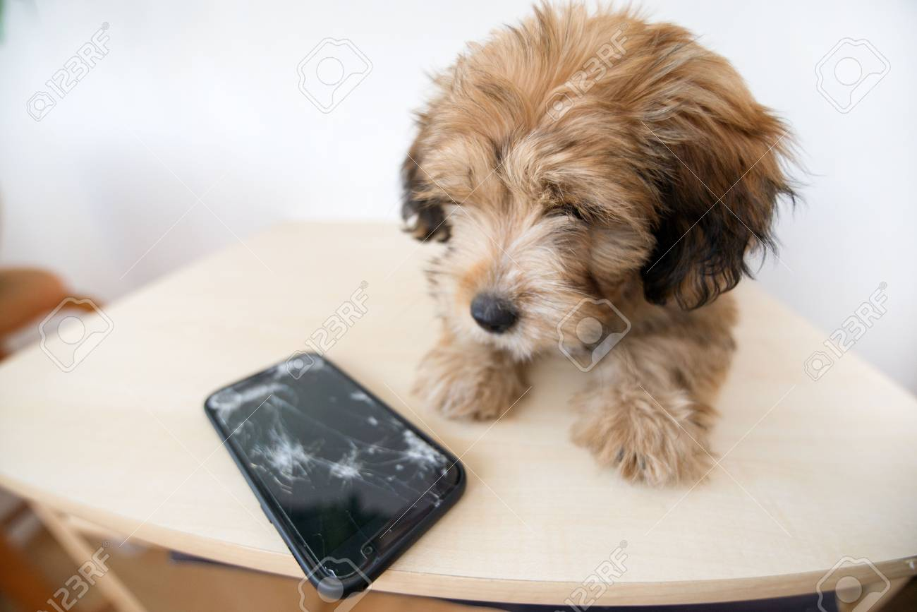 Broken and damaged smartphone with cracks on glass screen next to disobedient puppy. Accident. Dog has ruin and bitten the cell phone. Concept of warranty and lost smartphone - 119718800