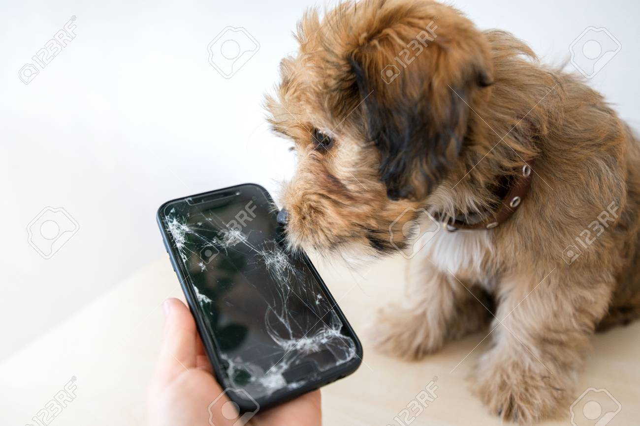 Broken and damaged smartphone with cracks on glass screen next to disobedient puppy. Accident. Dog has ruin and bitten the cell phone. Concept of warranty and lost smartphone - 119718819