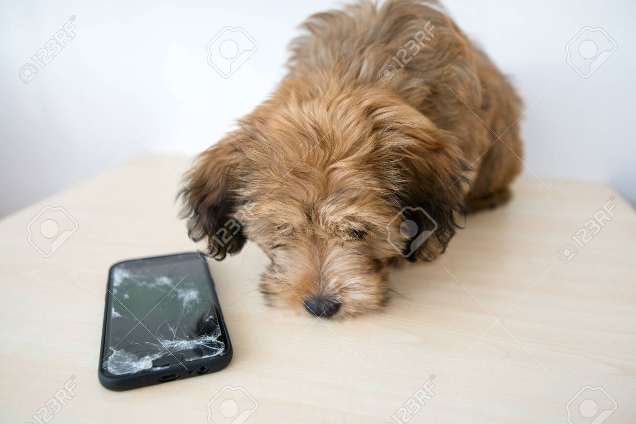 Broken and damaged smartphone with cracks on glass screen next to disobedient puppy. Accident. Dog has ruin and bitten the cell phone. Concept of warranty and lost smartphone - 119718820