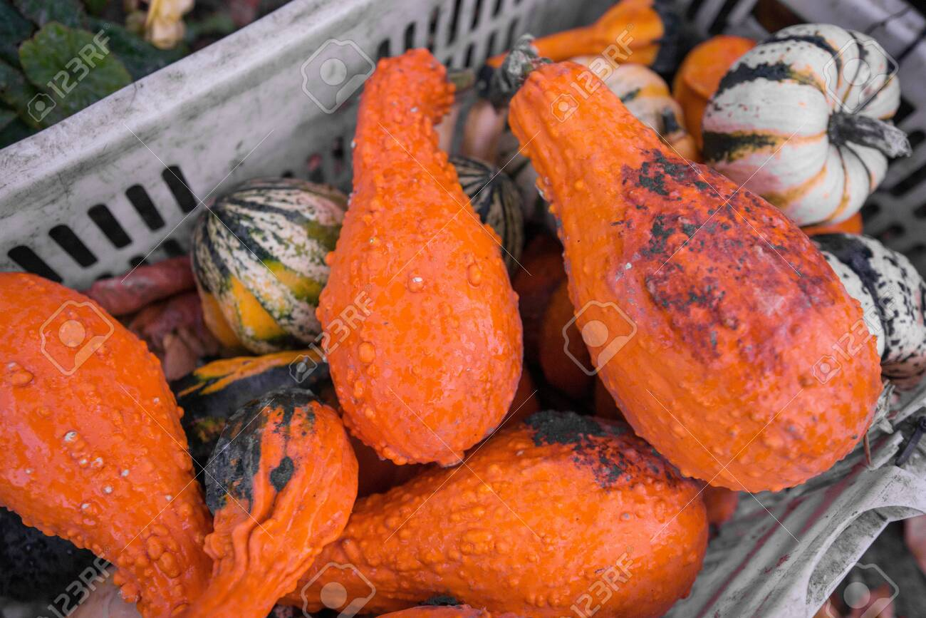 Trailer full of fresh pumpkins. Rich harvest in autumn or fall on farm in November. Beautiful, colorful autumn background. Preparing for Halloween. Delicious and healthy vegetables and fruits. - 119718831